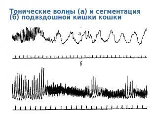 Тонические волны (а) и сегментация (б) подвздошной кишки кошки а
