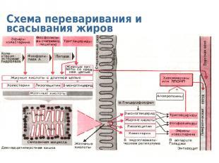 Схема переваривания и всасывания жиров