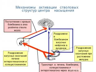 Механизмы активации стволовых структур центра насыщения Раздражение бомбезином в