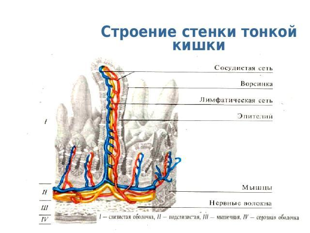 Строение стенки тонкой кишки с