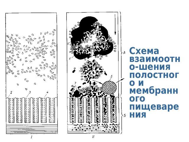 Схема взаимоотно-шения полостного и мембранного пищеварения
