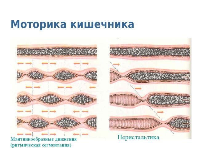 Моторика кишечника Маятникообразные движения (ритмическая сегментация) Перистальтика