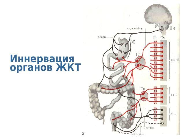 Иннервация органов ЖКТ