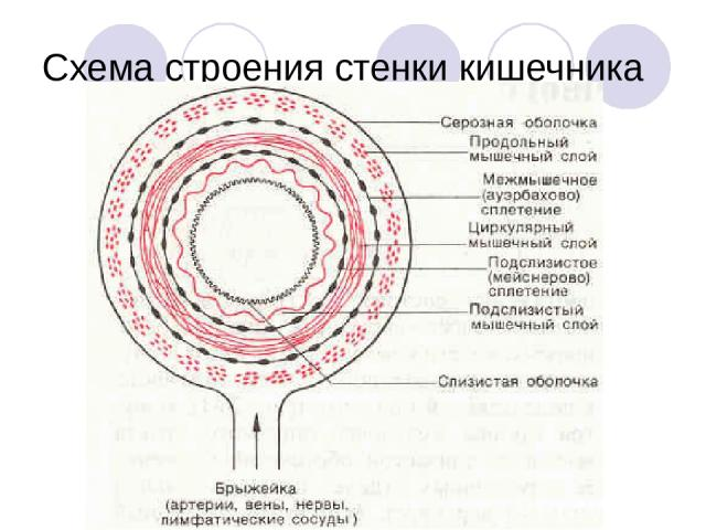 Схема строения стенки кишечника