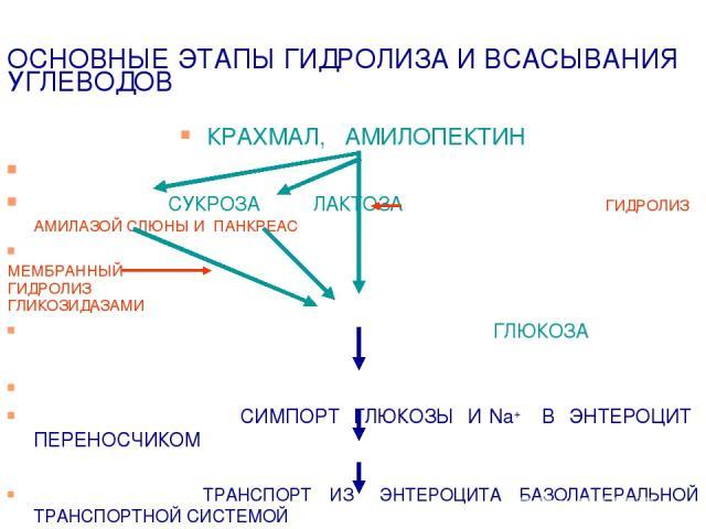 ОСНОВНЫЕ ЭТАПЫ ГИДРОЛИЗА И ВСАСЫВАНИЯ УГЛЕВОДОВ КРАХМАЛ, АМИЛОПЕКТИН СУКРОЗА ЛАКТОЗА ГИДРОЛИЗ АМИЛАЗОЙ СЛЮНЫ И ПАНКРЕАС МЕМБРАННЫЙ ГИДРОЛИЗ ГЛИКОЗИДАЗАМИ ГЛЮКОЗА СИМПОРТ ГЛЮКОЗЫ И Na+ В ЭНТЕРОЦИТ ПЕРЕНОСЧИКОМ ТРАНСПОРТ ИЗ ЭНТЕРОЦИТА БАЗОЛАТЕРАЛЬНОЙ …