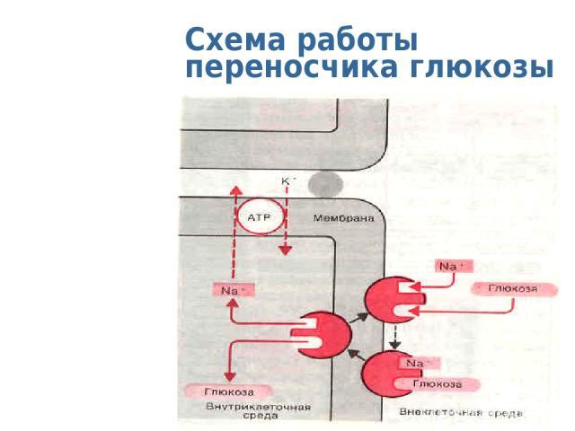 Схема работы переносчика глюкозы