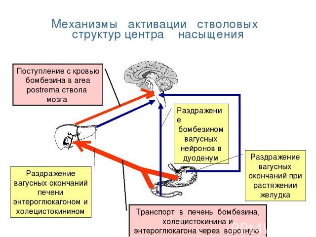 Механизмы активации стволовых структур центра насыщения Раздражение бомбезином вагусных нейронов в дуоденум Раздражение вагусных окончаний при растяжении желудка Поступление с кровью бомбезина в area postrema ствола мозга Раздражение вагусных оконча…
