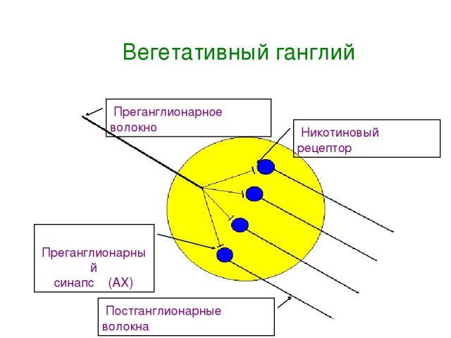Вегетативный ганглий Преганглионарное волокно Постганглионарные волокна Преганглионарный синапс (АХ) Никотиновый рецептор