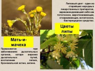 Мать-и-мачеха Цветы липы Применяется при заболеваниях дыхательных органов, катар