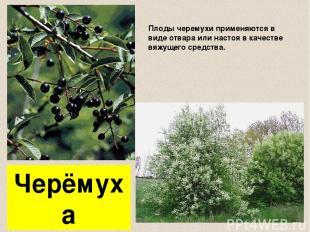 Черёмуха Плоды черемухи применяются в виде отвара или настоя в качестве вяжущего