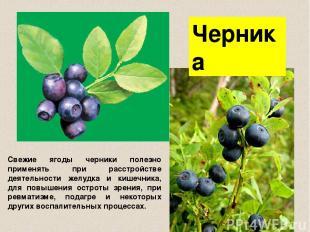 Черника Свежие ягоды черники полезно применять при расстройстве деятельности жел