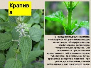 Крапива В народной медицине крапива используется как ранозаживляющее, мочегонное