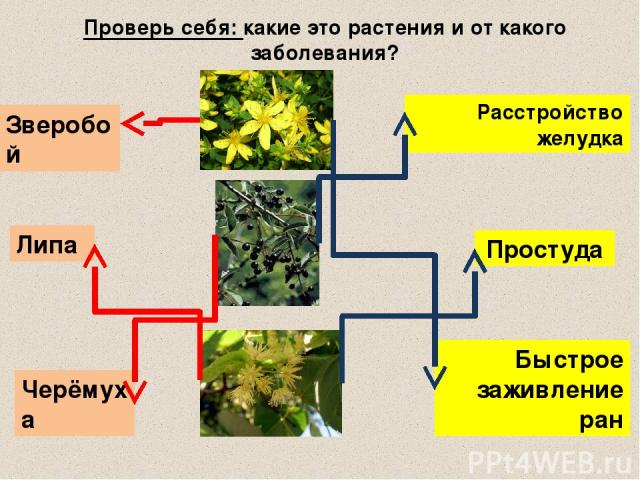 Проверь себя: какие это растения и от какого заболевания? Быстрое заживление ран Расстройство желудка Простуда Липа Черёмуха Зверобой