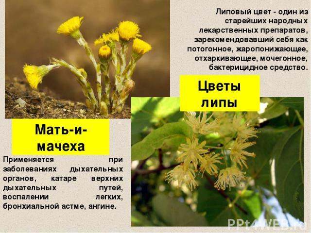 Мать-и-мачеха Цветы липы Применяется при заболеваниях дыхательных органов, катаре верхних дыхательных путей, воспалении легких, бронхиальной астме, ангине. Липовый цвет - один из старейших народных лекарственных препаратов, зарекомендовавший себя ка…