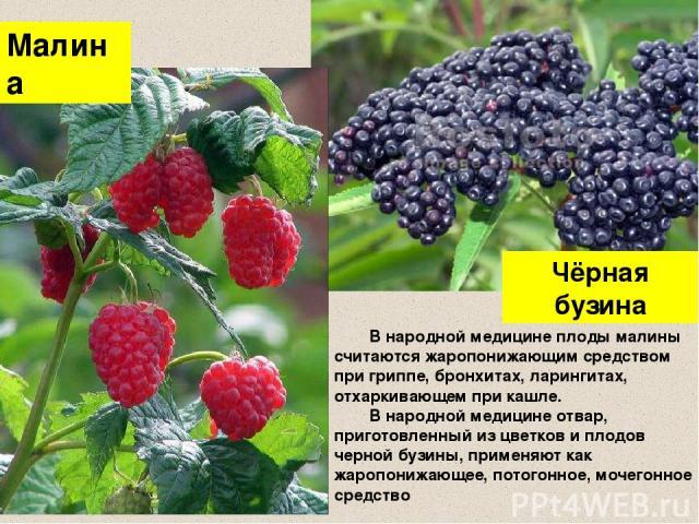 Чёрная бузина Малина В народной медицине плоды малины считаются жаропонижающим средством при гриппе, бронхитах, ларингитах, отхаркивающем при кашле. В народной медицине отвар, приготовленный из цветков и плодов черной бузины, применяют как жаропониж…