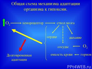 Общая схема механизма адаптации организма к гипоксии. хеморецептор ствол мозга с