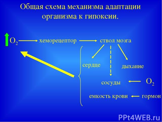 Общая схема механизма адаптации организма к гипоксии. хеморецептор ствол мозга сердце дыхание сосуды емкость крови О2 гормон