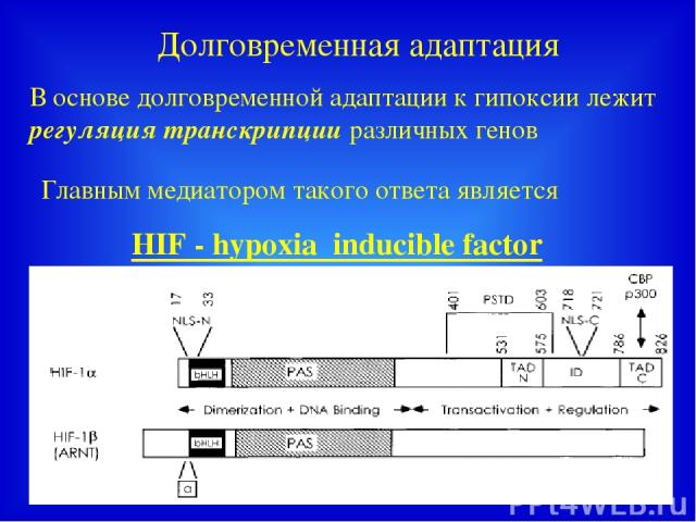 Долговременная адаптация В основе долговременной адаптации к гипоксии лежит регуляция транскрипции различных генов Главным медиатором такого ответа является HIF - hypoxia inducible factor