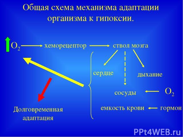 Общая схема механизма адаптации организма к гипоксии. хеморецептор ствол мозга сердце дыхание сосуды емкость крови О2 Долговременная адаптация гормон