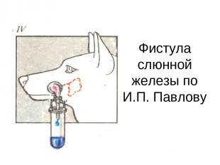 Фистула слюнной железы по И.П. Павлову