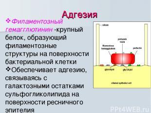Адгезия Филаментозный гемагглютинин -крупный белок, образующий филаментозные стр