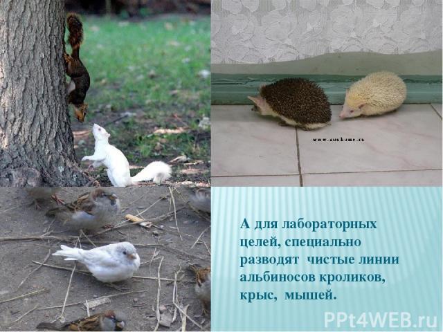 А для лабораторных целей, специально разводят чистые линии альбиносов кроликов, крыс, мышей.
