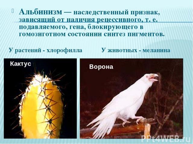 Альбинизм — наследственный признак, зависящий от наличия рецессивного, т. е. подавляемого, гена, блокирующего в гомозиготном состоянии синтез пигментов. Кактус Ворона У животных - меланина У растений - хлорофилла