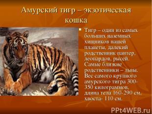 Амурский тигр – экзотическая кошка Тигр – один из самых больших наземных хищнико