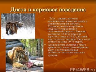 Диета и кормовое поведение Тигр – хищник, питается исключительно животной пищей,