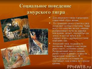 Социальное поведение амурского тигра Для амурского тигра характерен одиночный об