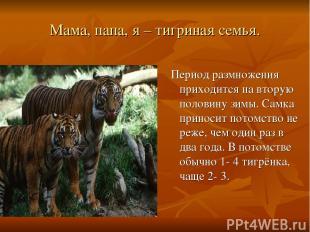 Мама, папа, я – тигриная семья. Период размножения приходится на вторую половину