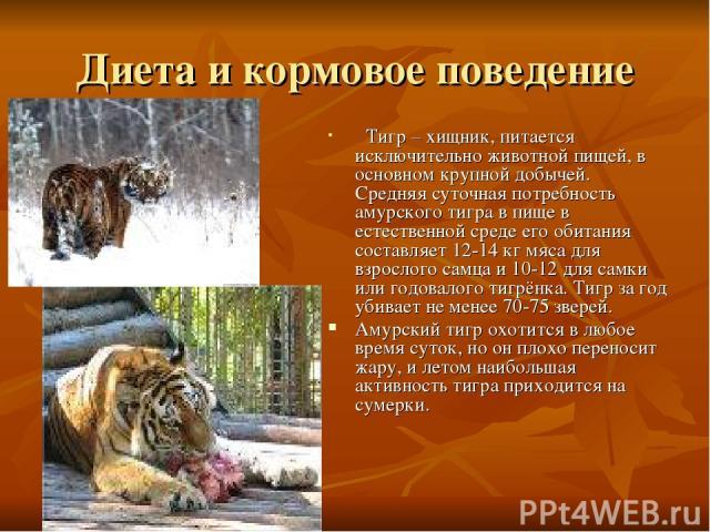 Диета и кормовое поведение Тигр – хищник, питается исключительно животной пищей, в основном крупной добычей. Средняя суточная потребность амурского тигра в пище в естественной среде его обитания составляет 12-14 кг мяса для взрослого самца и 10-12 д…