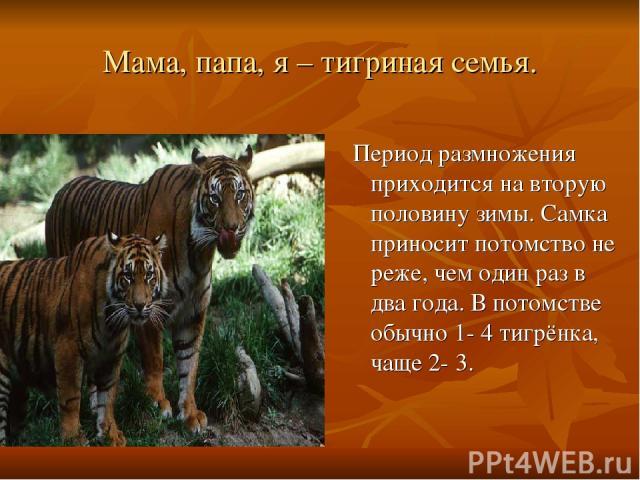 Мама, папа, я – тигриная семья. Период размножения приходится на вторую половину зимы. Самка приносит потомство не реже, чем один раз в два года. В потомстве обычно 1- 4 тигрёнка, чаще 2- 3.