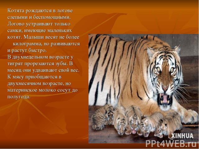 Котята рождаются в логове слепыми и беспомощными. Логово устраивают только самки, имеющие маленьких котят. Малыши весят не более килограмма, но развиваются и растут быстро. В двухнедельном возрасте у тигрят прорезаются зубы. В месяц они удваивают св…