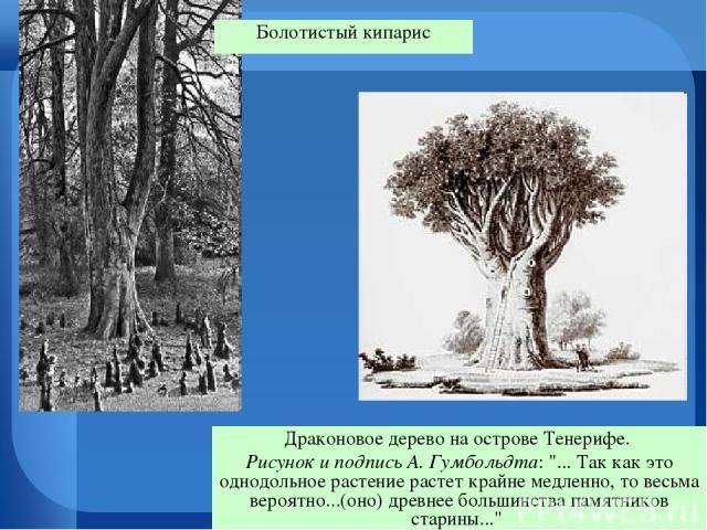 Драконовое дерево на острове Тенерифе. Рисунок и подпись А. Гумбольдта: