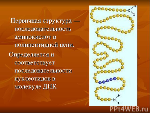Первичная структура — последовательность аминокислот в полипептидной цепи. Определяется и соответствует последовательности нуклеотидов в молекуле ДНК
