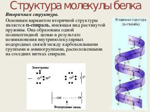 Структура молекулы белка Вторичная структура. Основным вариантом вторичной струк