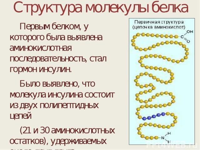 Структура молекулы белка Первым белком, у которого была выявлена аминокислотная последовательность, стал гормон инсулин. Было выявлено, что молекула инсулина состоит из двух полипептидных цепей (21 и 30 аминокислотных остатков), удерживаемых около д…