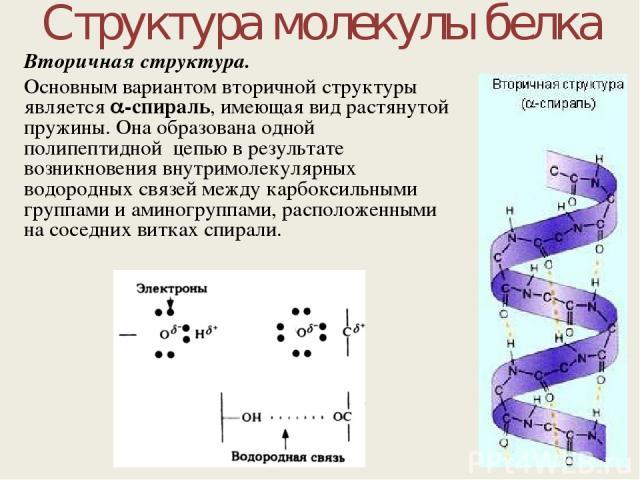 Структура молекулы белка Вторичная структура. Основным вариантом вторичной структуры является -спираль, имеющая вид растянутой пружины. Она образована одной полипептидной цепью в результате возникновения внутримолекулярных водородных связей между ка…