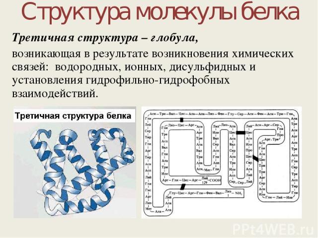 Структура молекулы белка Третичная структура – глобула, возникающая в результате возникновения химических связей: водородных, ионных, дисульфидных и установления гидрофильно-гидрофобных взаимодействий.