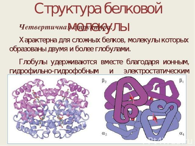 Структура белковой молекулы Четвертичная структура. Характерна для сложных белков, молекулы которых образованы двумя и более глобулами. Глобулы удерживаются вместе благодаря ионным, гидрофильно-гидрофобным и электростатическим взаимодействиям.