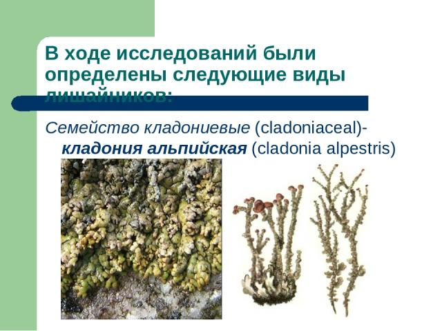 В ходе исследований были определены следующие виды лишайников: Семейство кладониевые (cladoniaceal)- кладония альпийская (cladonia alpestris)