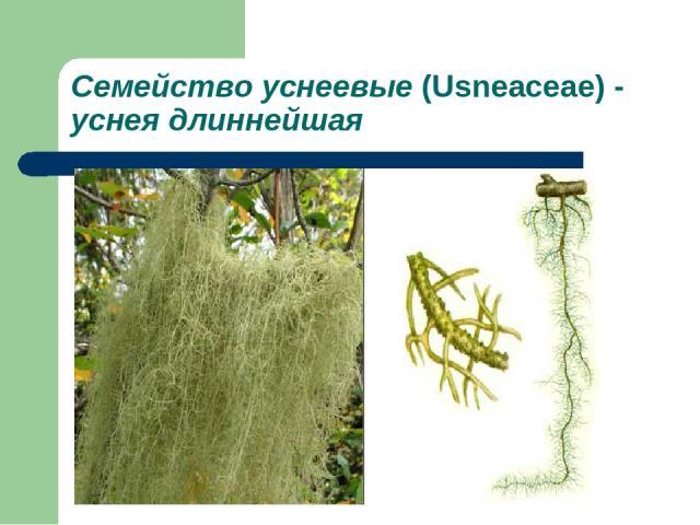 Семейство уснеевые (Usneaceae) - уснея длиннейшая