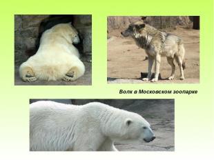 Волк в Московском зоопарке