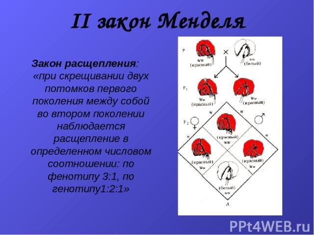 II закон Менделя Закон расщепления: «при скрещивании двух потомков первого поколения между собой во втором поколении наблюдается расщепление в определенном числовом соотношении: по фенотипу 3:1, по генотипу1:2:1»