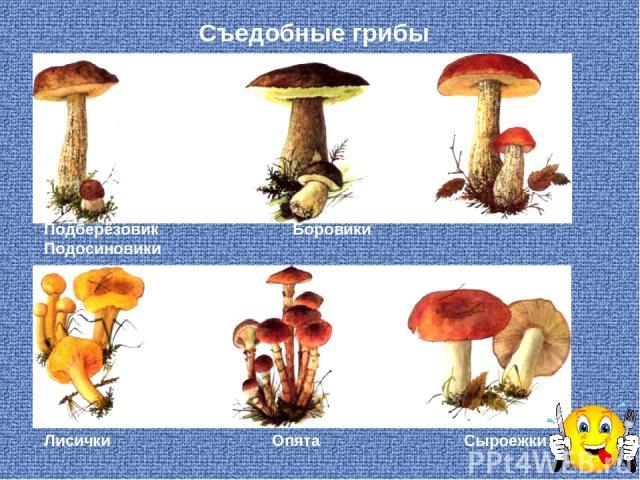 Съедобные грибы Подберёзовик Боровики Подосиновики Лисички Опята Сыроежки