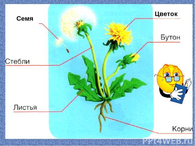 Семя Цветок