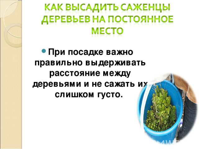 При посадке важно правильно выдерживать расстояние между деревьями и не сажать их слишком густо.