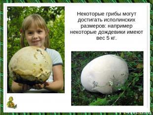 Некоторые грибы могут достигать исполинских размеров: например некоторые дождеви