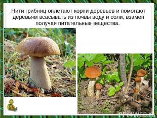Нити грибниц оплетают корни деревьев и помогают деревьям всасывать из почвы воду